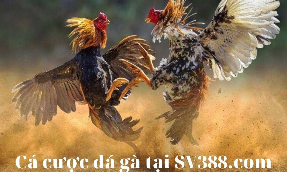 Cá cược đá gà trực tuyến tại SV388