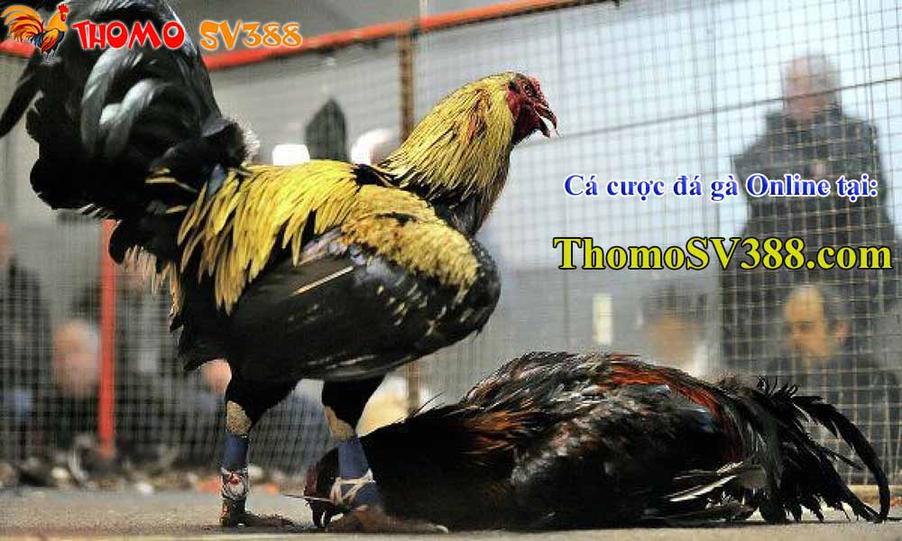 Nhà cái cá cược đá gà Online Online ThomoSV388